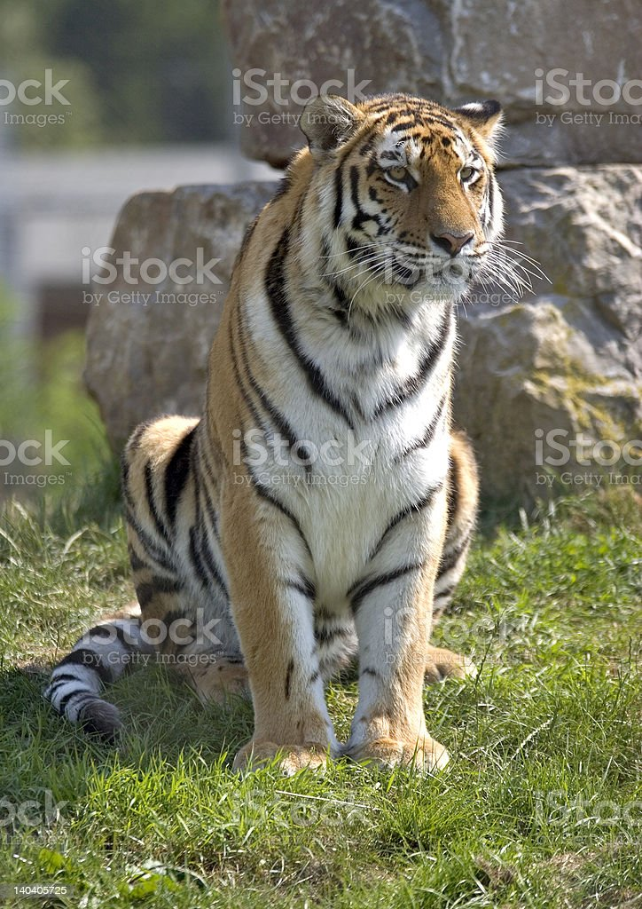 Sitting Tiger stock photo