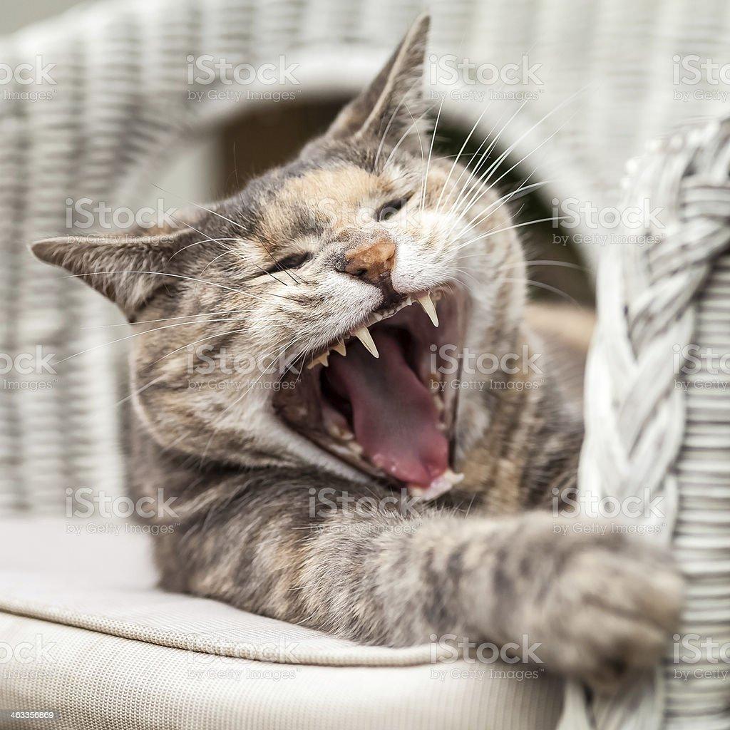 Sitting Tortoiseshell-Tabby Cat Yawning royalty-free stock photo