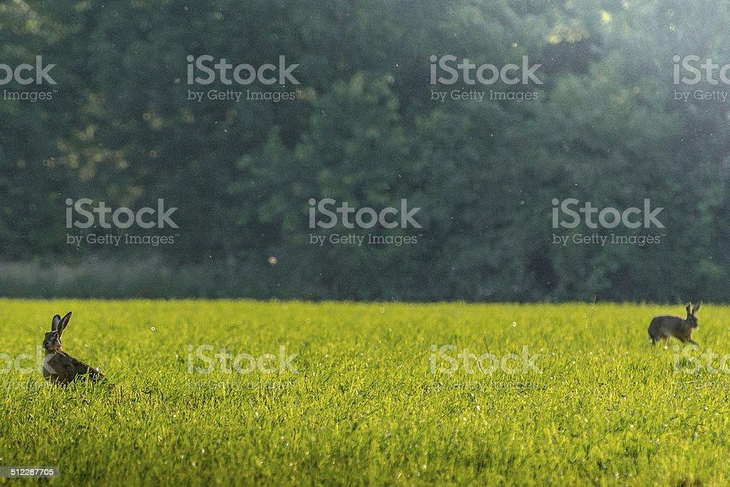 Sitzen Zwei Hasen auf der Wiese... stock photo
