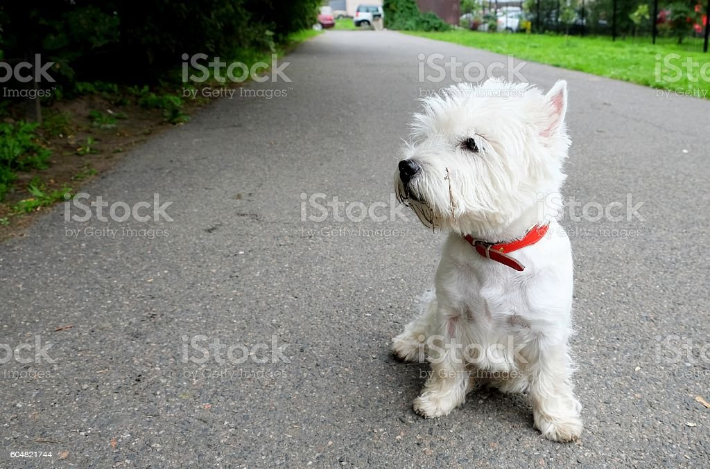 Sitting West Highland White Terrier. stock photo