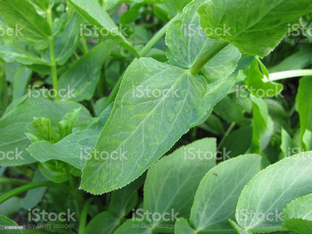 Sium sisarum stock photo