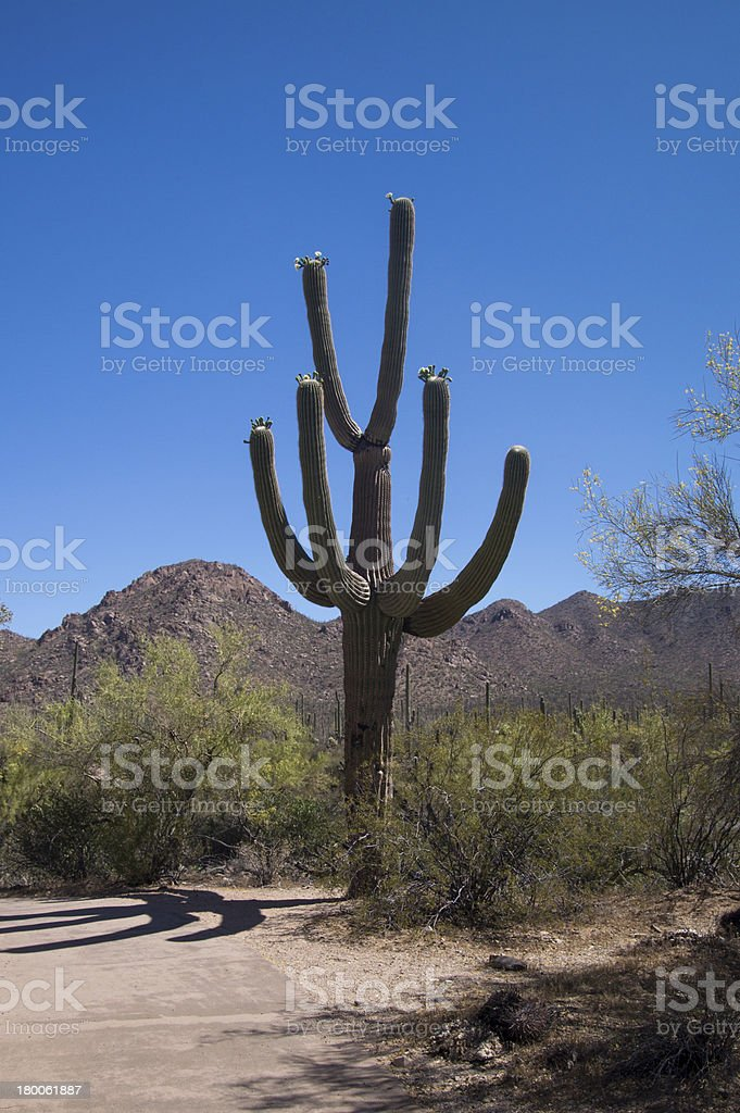 Six Armed Saguaro royalty-free stock photo