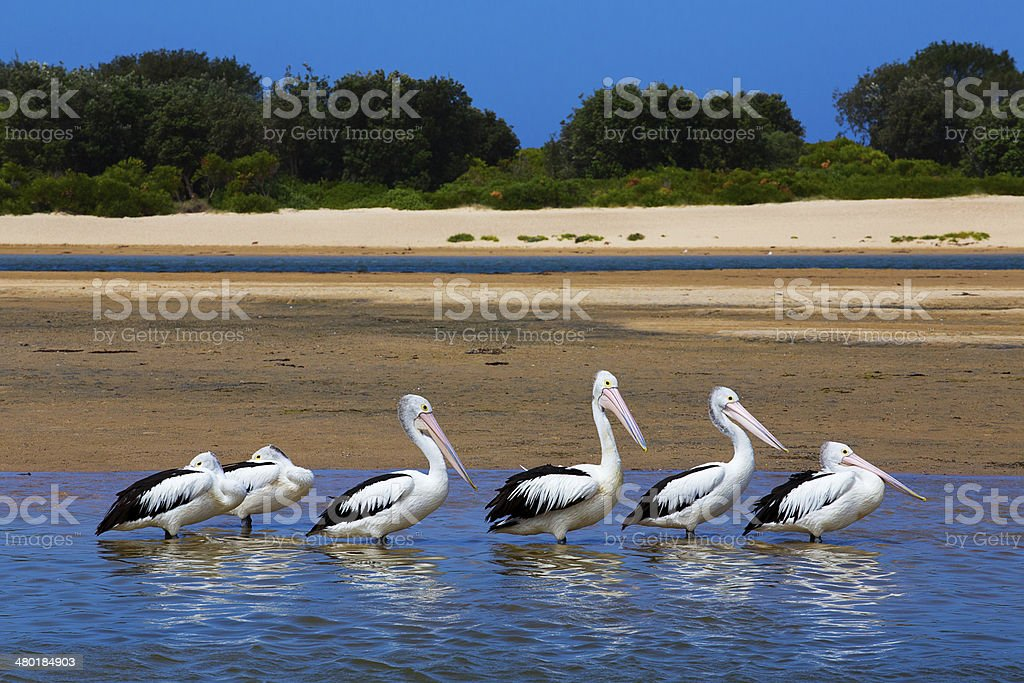 Six Australian Pelicans stand in a line in water royalty-free stock photo