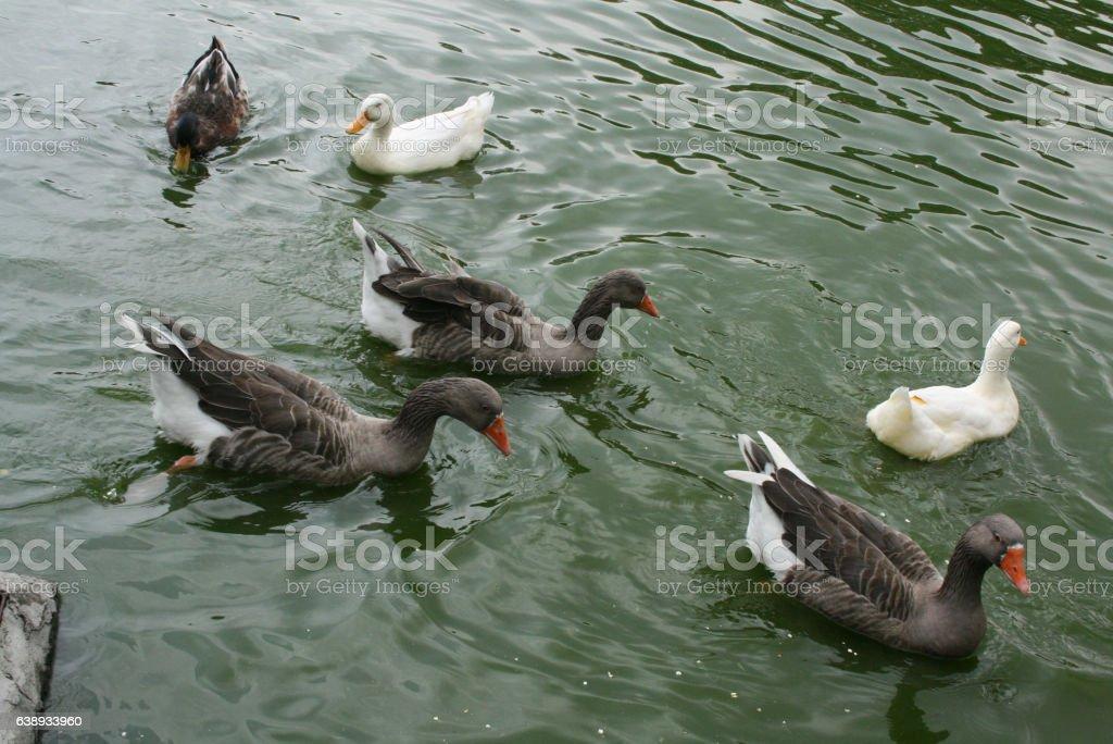 Six ducks enjoy lake in Parque San Martín México city. stock photo