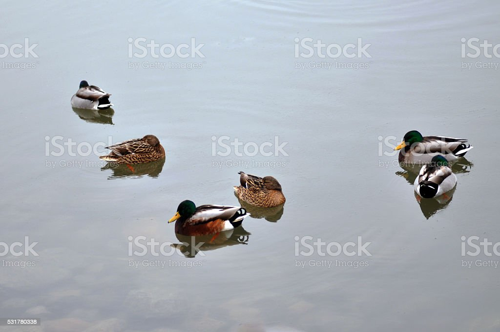 Six Ducks in the water stock photo