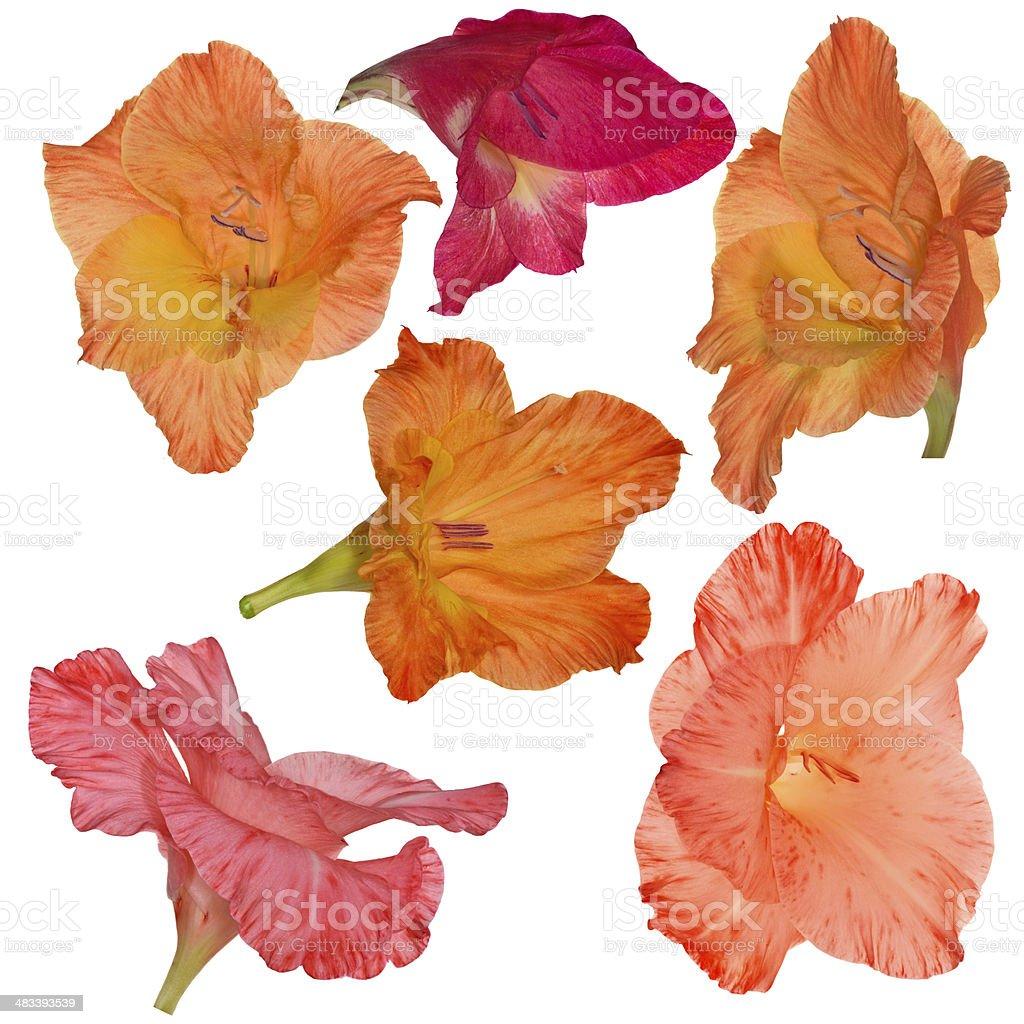 six gladiolus flower isolated on white stock photo