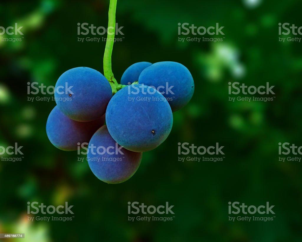 six grapes royalty-free stock photo