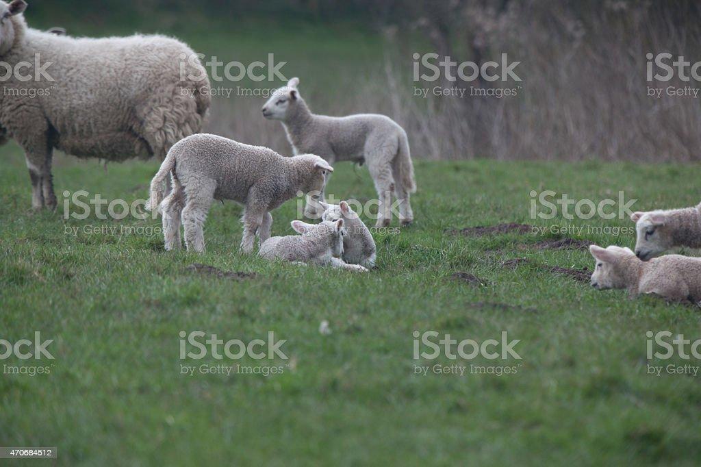 Six  lambs stock photo