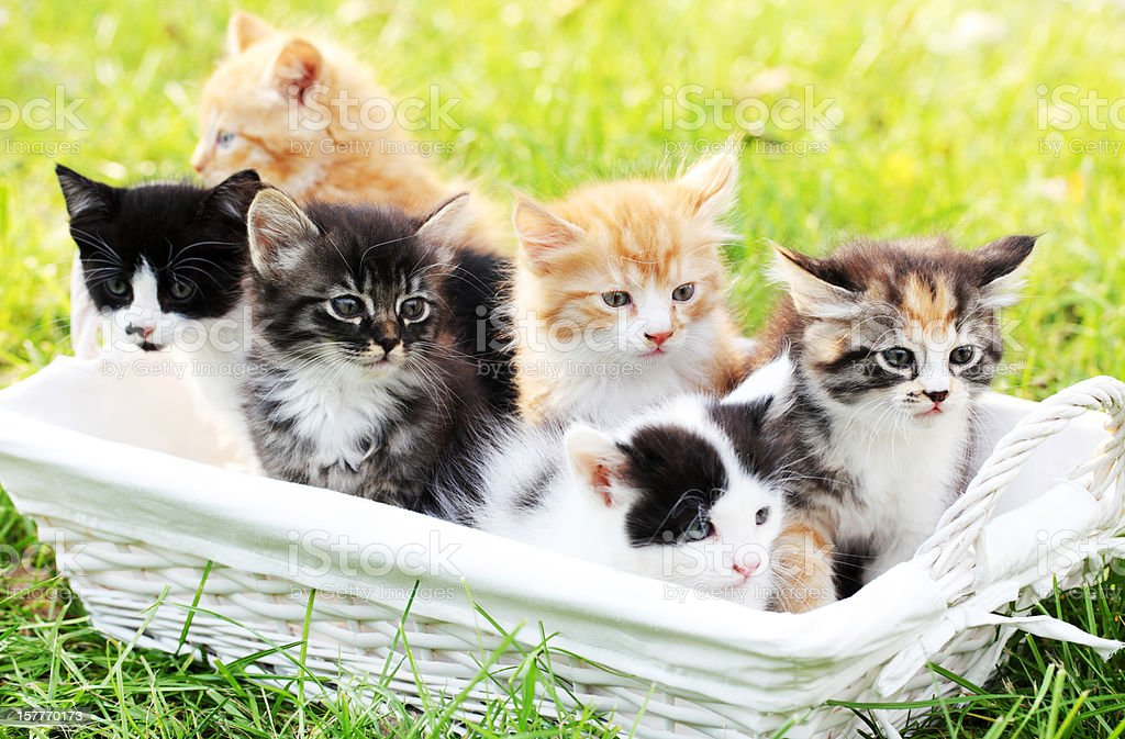 Six little cats in basket outdoor. stock photo