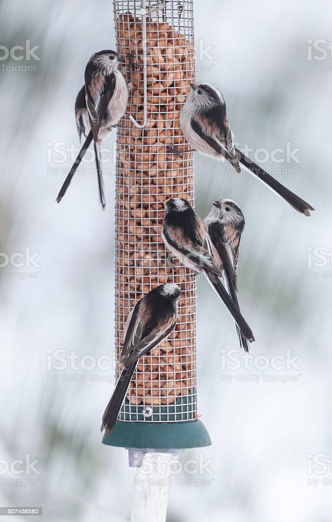 Six Long-tailed Tits on peanut feeder; Scotland, UK stock photo