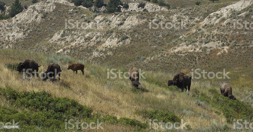 Six Montana Bison stock photo