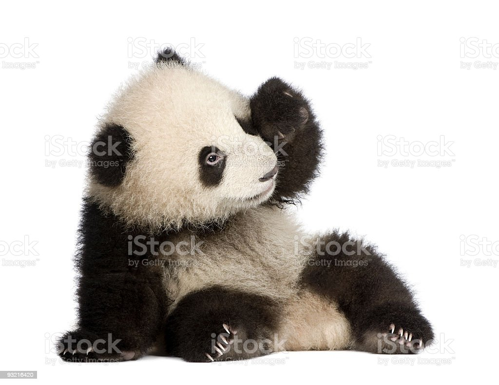 Six month old giant panda cub on a white background stock photo