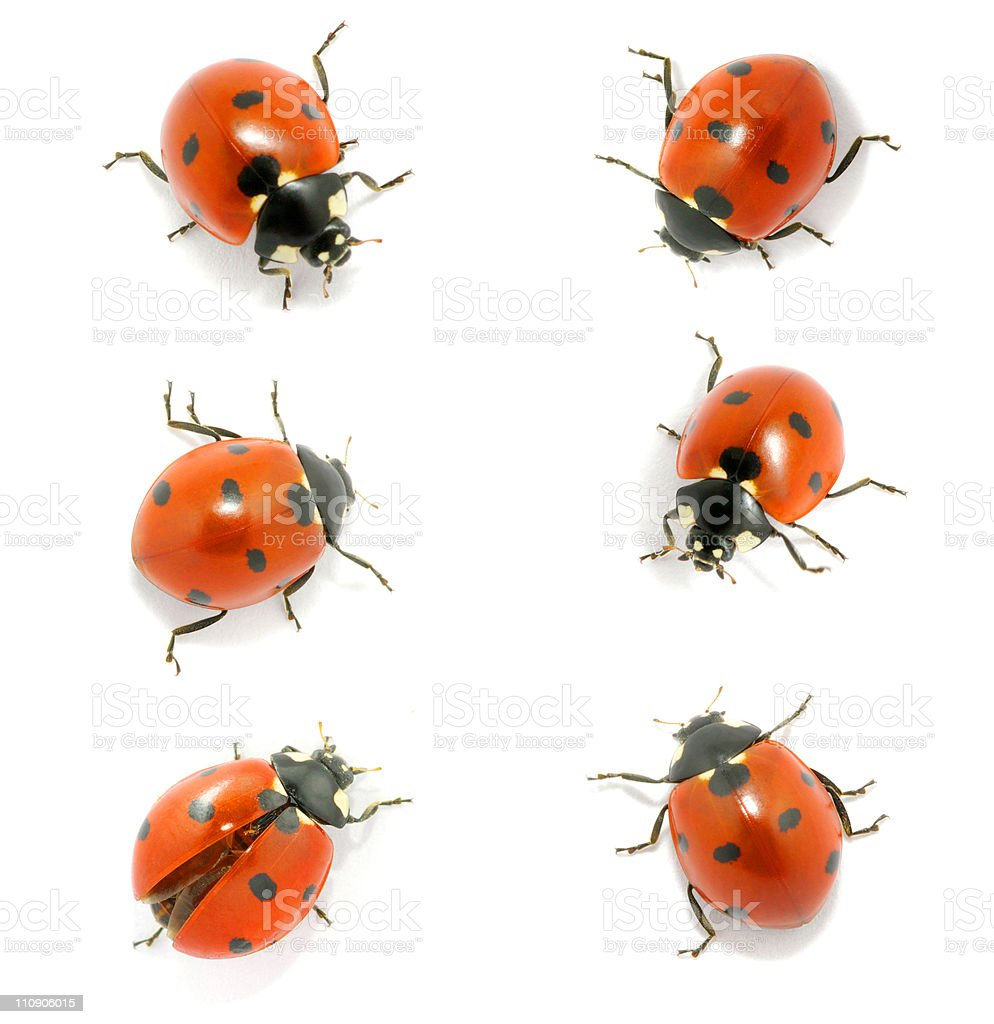 Six red ladybugs on a white background stock photo