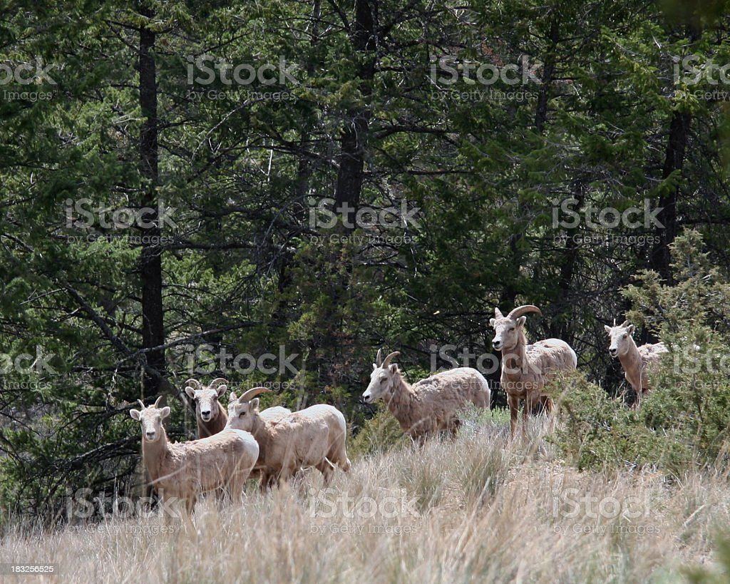 Six Rocky Mountian Sheep Seen At The Cabin royalty-free stock photo