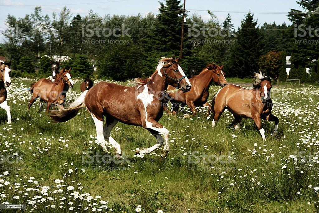 Six Running Horses royalty-free stock photo