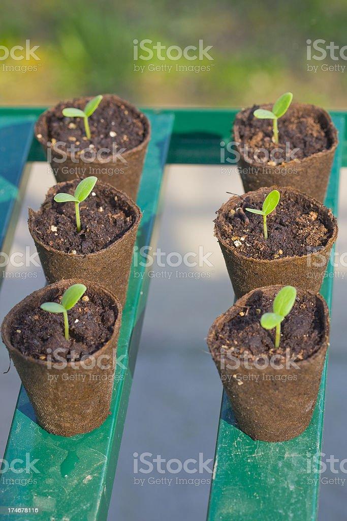 Six Seedlings stock photo