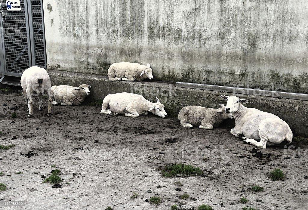 six sheep royalty-free stock photo