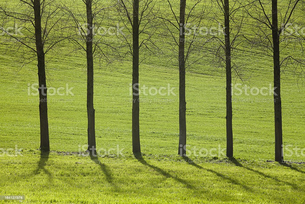Six straight trees on green royalty-free stock photo