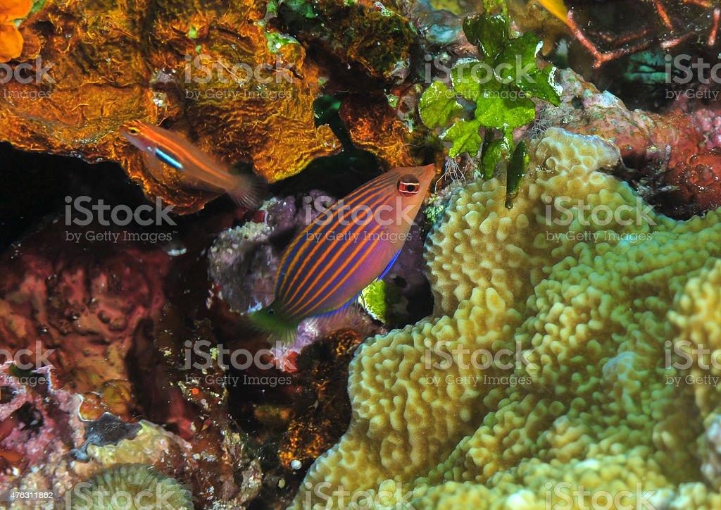 Six stripe wrasse stock photo