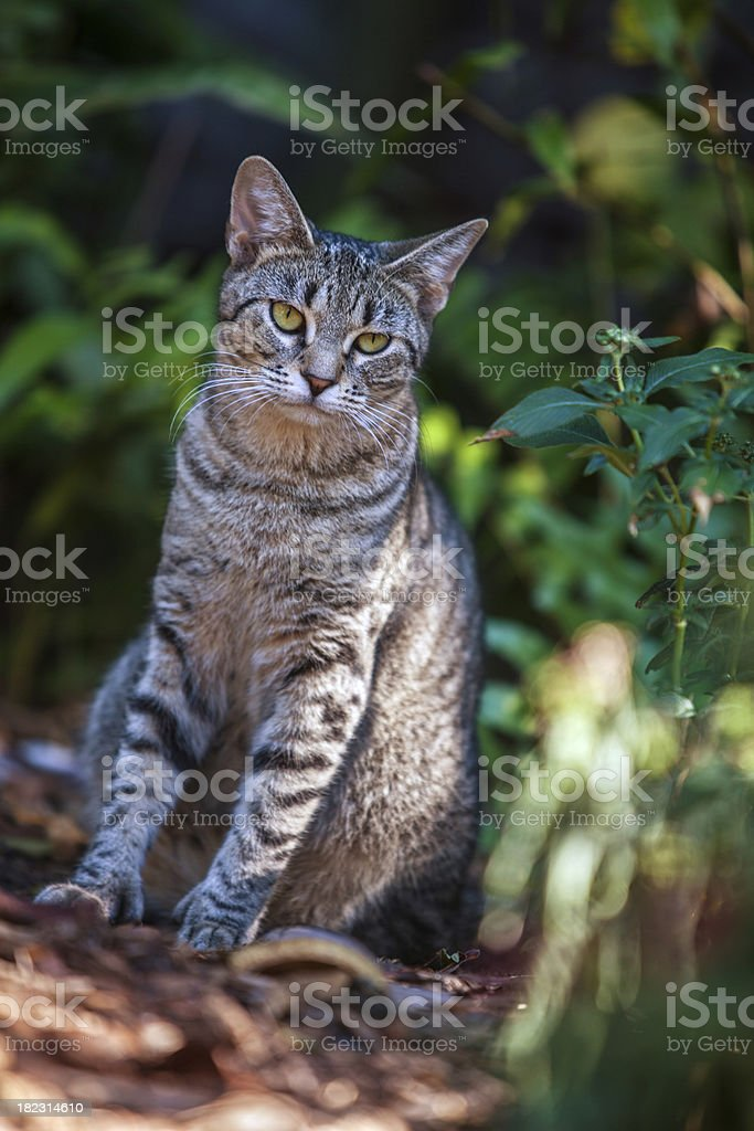 Six Toed Cat at Hemingway Home in Key West royalty-free stock photo