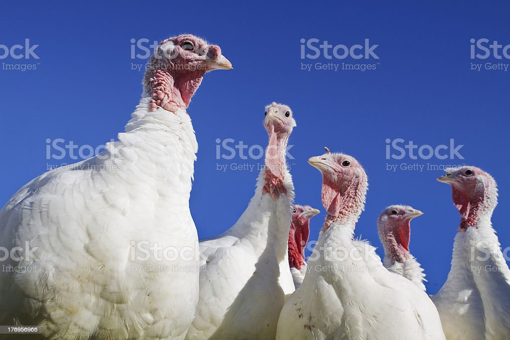 Six turkeys against a blue sky stock photo