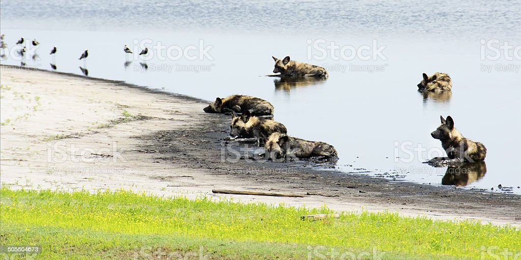 Six Wild Dogs Cooling Down in a Shallow Pond stock photo