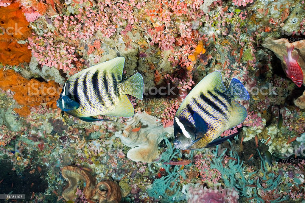 Six-Banded Angelfishes in Colourful Cave, Komodo National Park, Indonesia stock photo