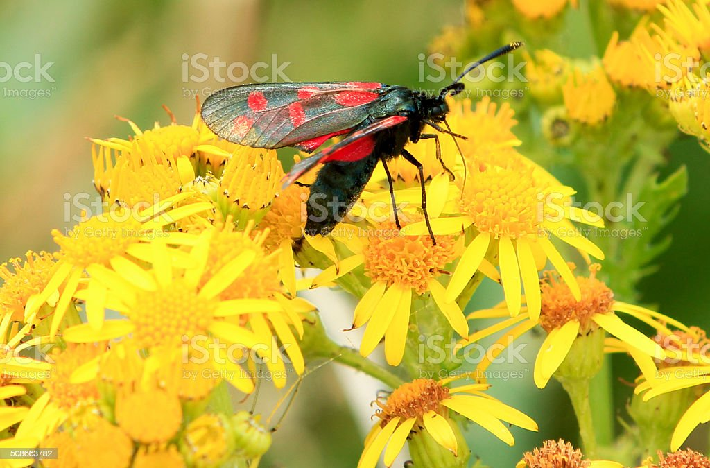 Six-Spot Burnet in Gwbert-on-Sea, Wales stock photo