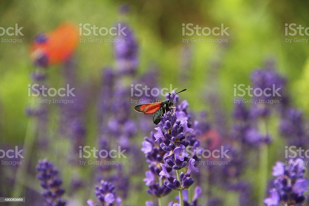 Six-Spot Burnet on lavender flowers stock photo