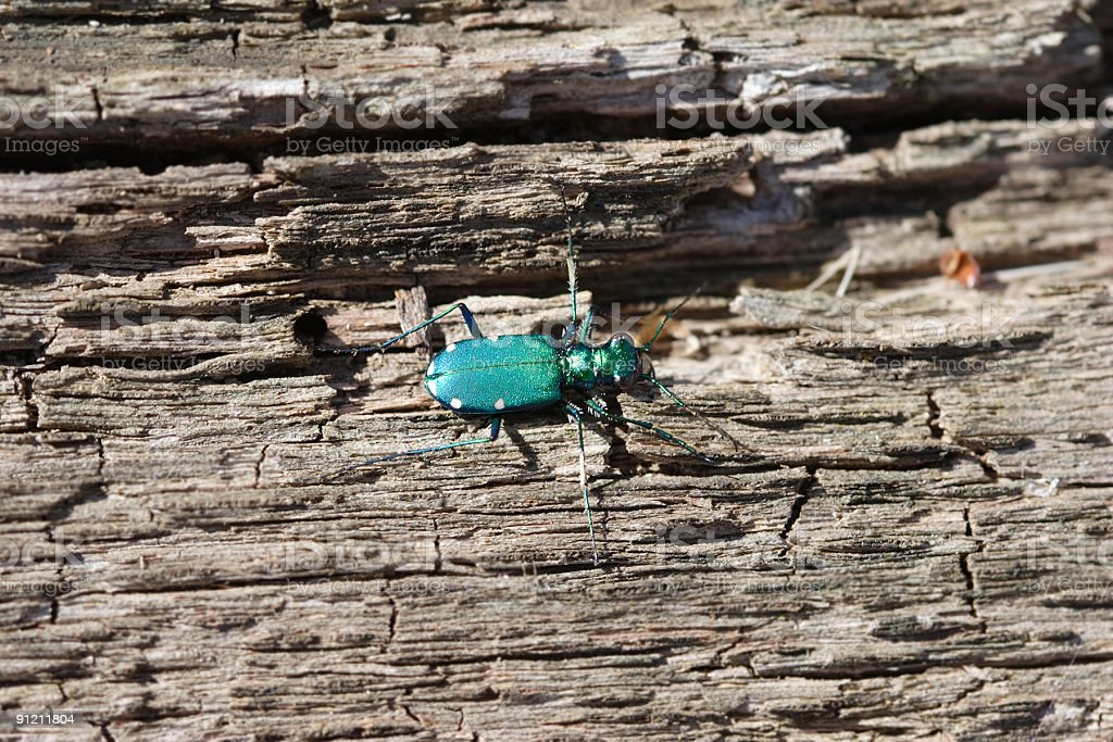 Six-Spotted Tiger Beetle On Dead Wood royalty-free stock photo