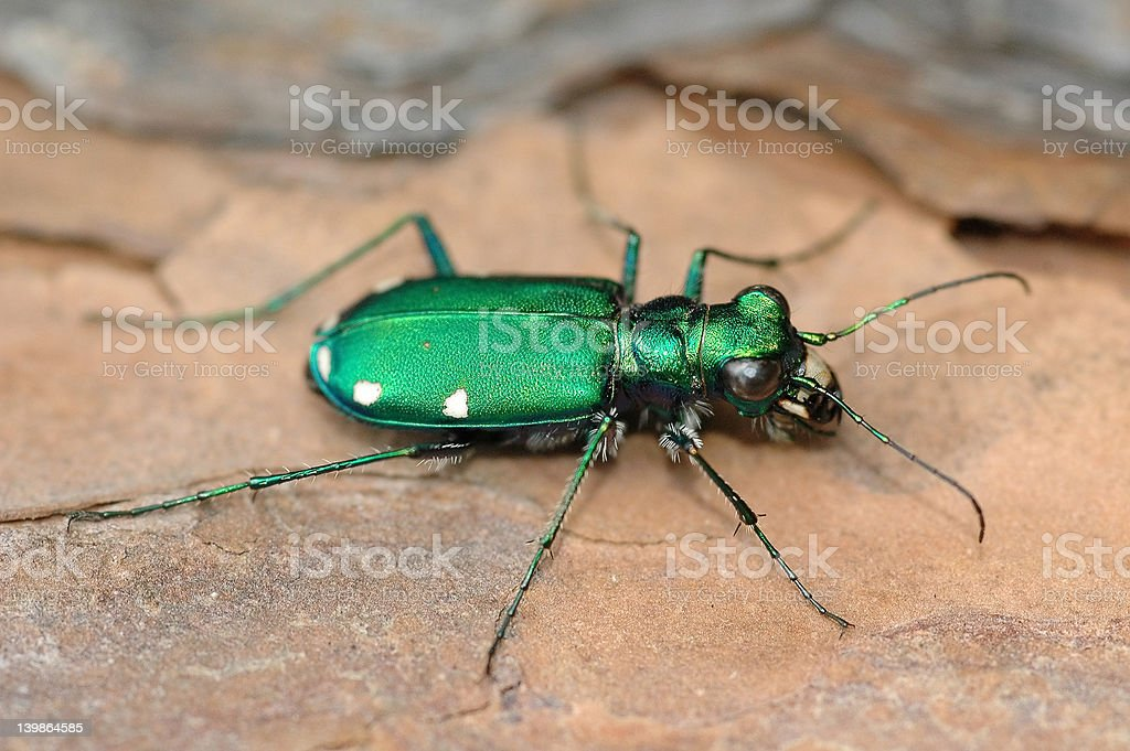 Six-Spotted Tiger Beetle royalty-free stock photo