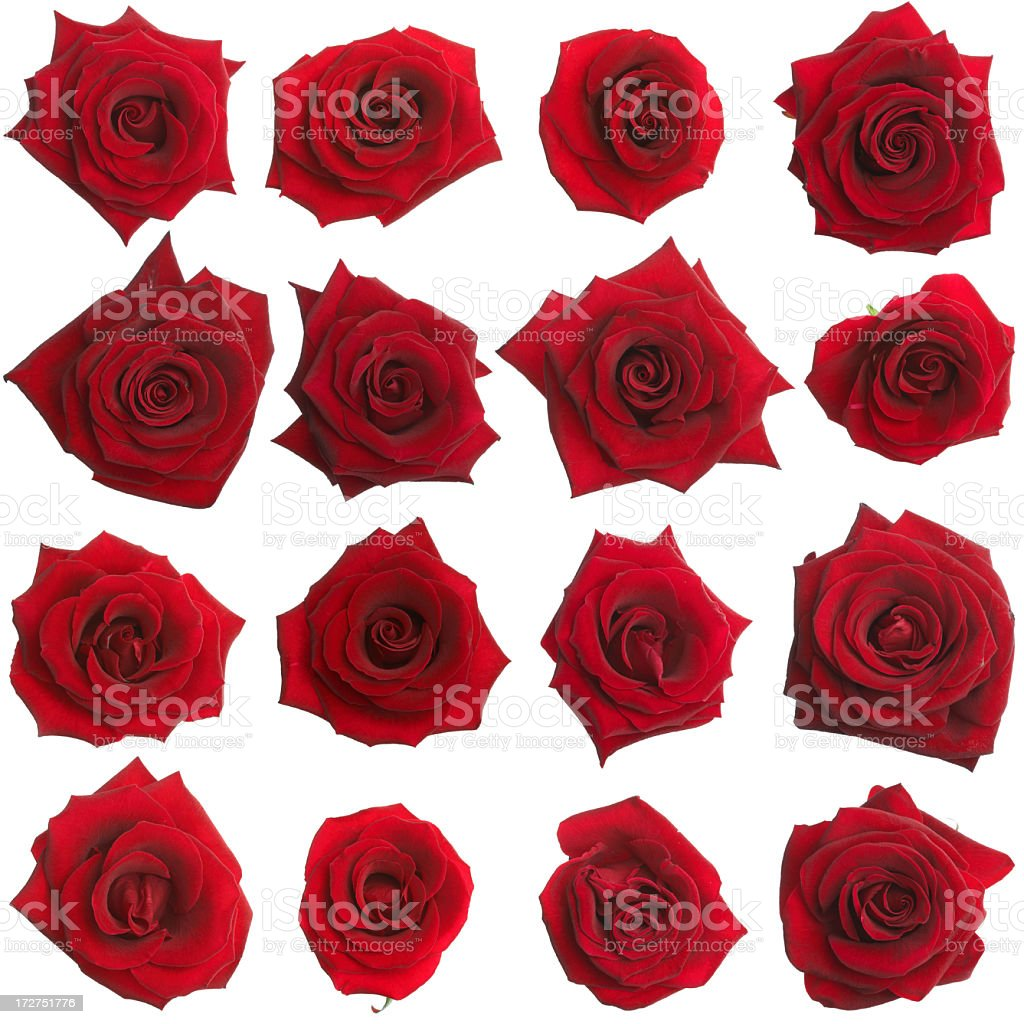 sixteen isolated roses stock photo