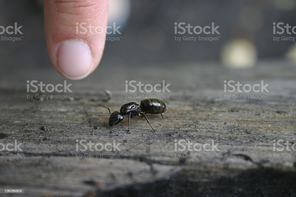 Size of a carpenter ant (close-up) stock photo