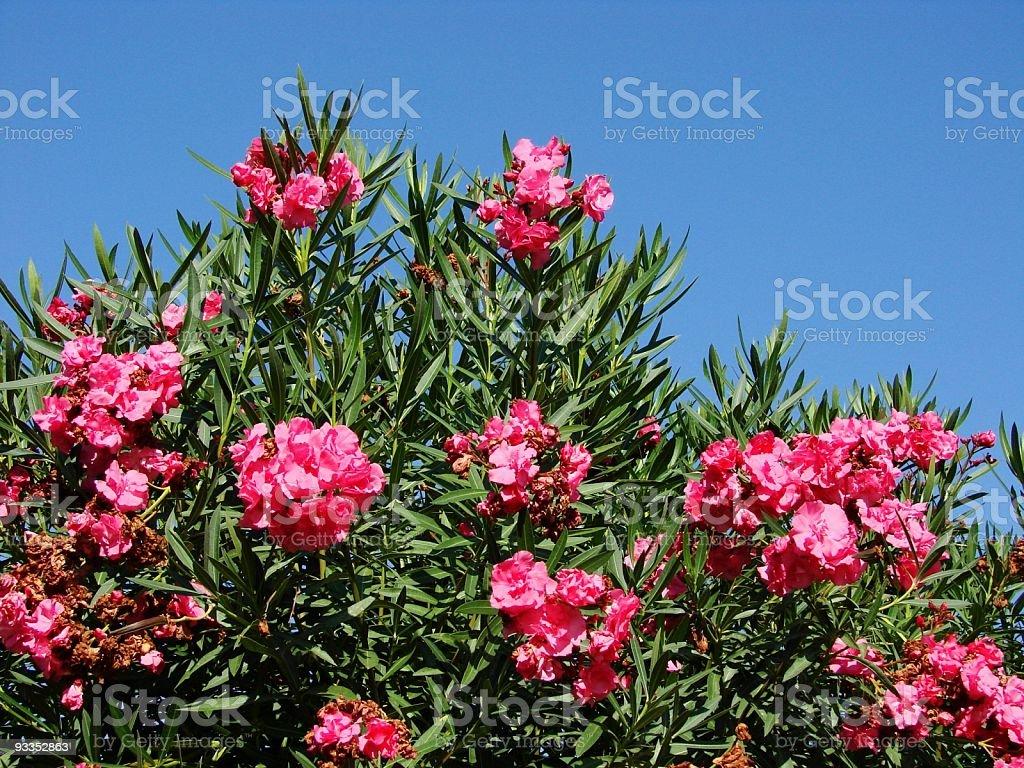 Sizilianischer Oleander stock photo