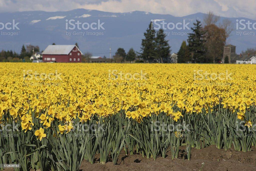 Skagit Daffodil royalty-free stock photo