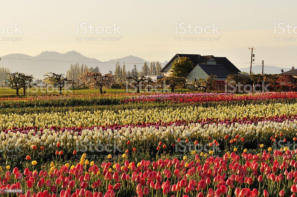 Skagit valley Tulip field and farmhouse stock photo