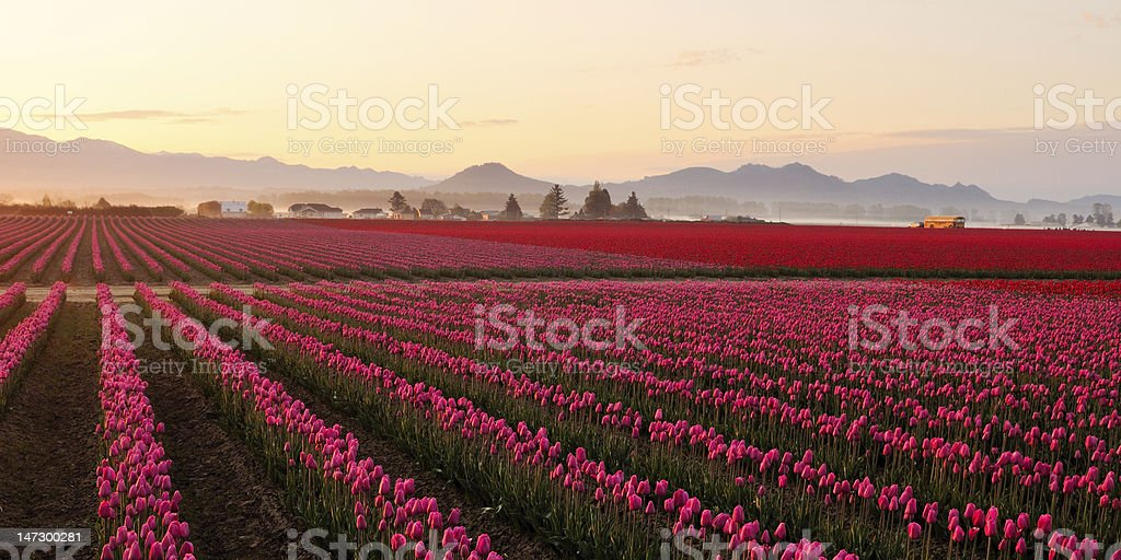 Skagit valley Tulip field at foggy sunrise stock photo