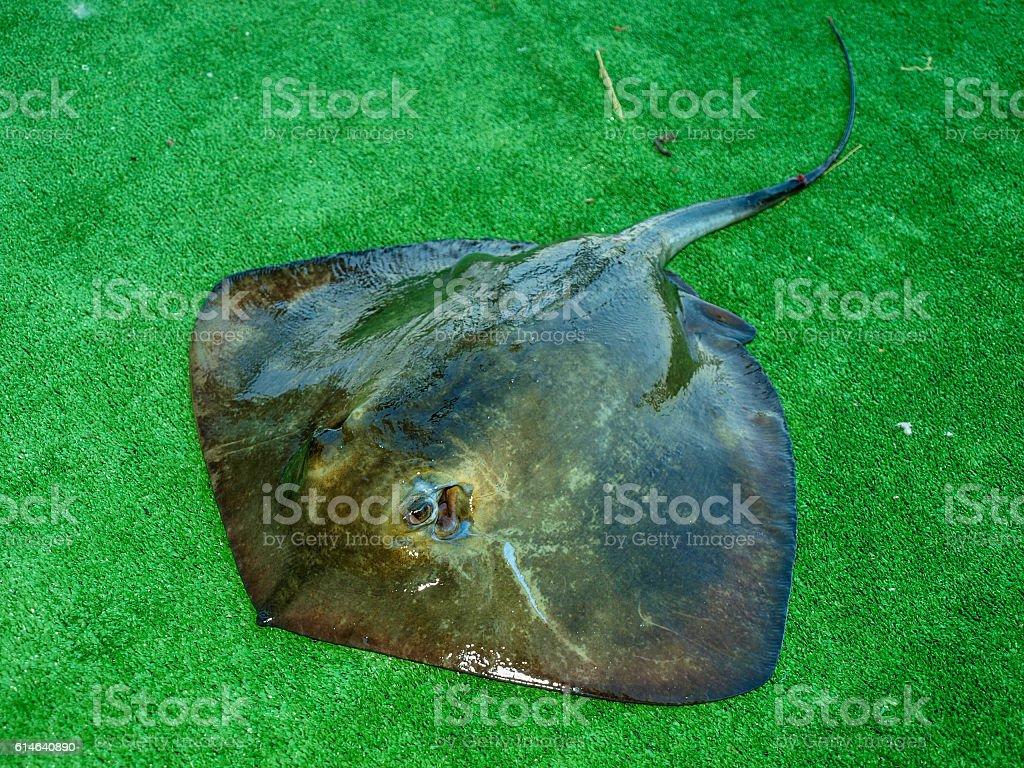 Skate stingray or sea cat stock photo