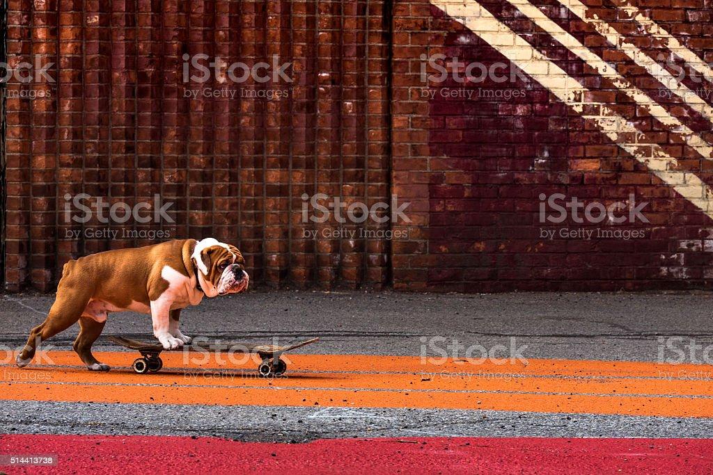 skateboarding dog stock photo