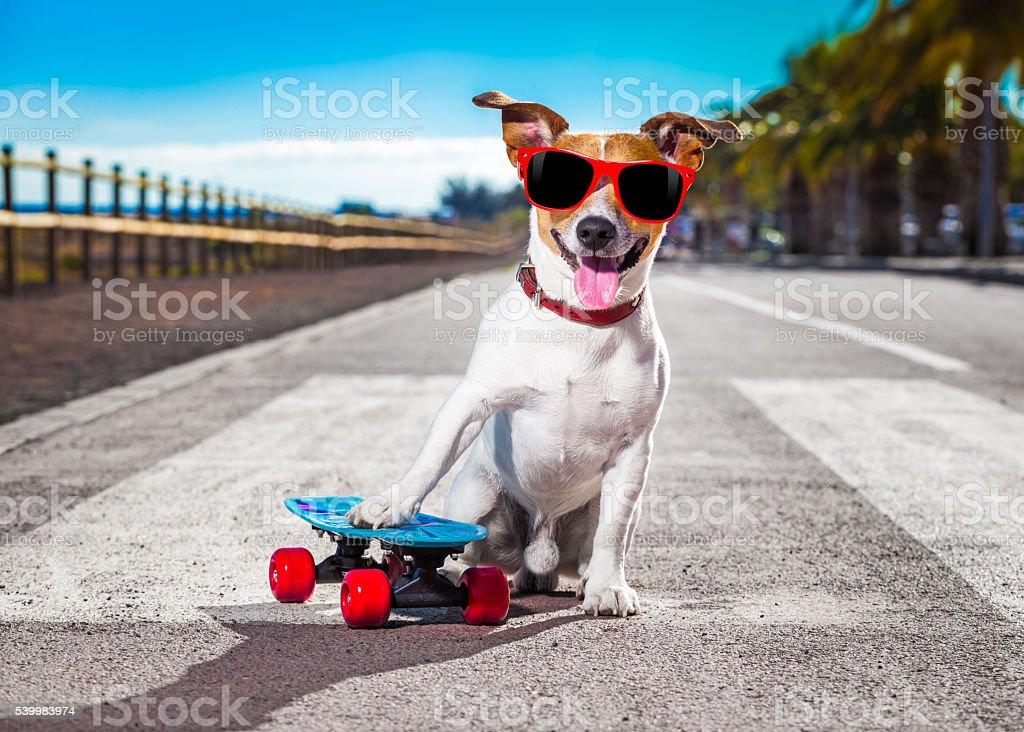 skater dog on skateboard stock photo