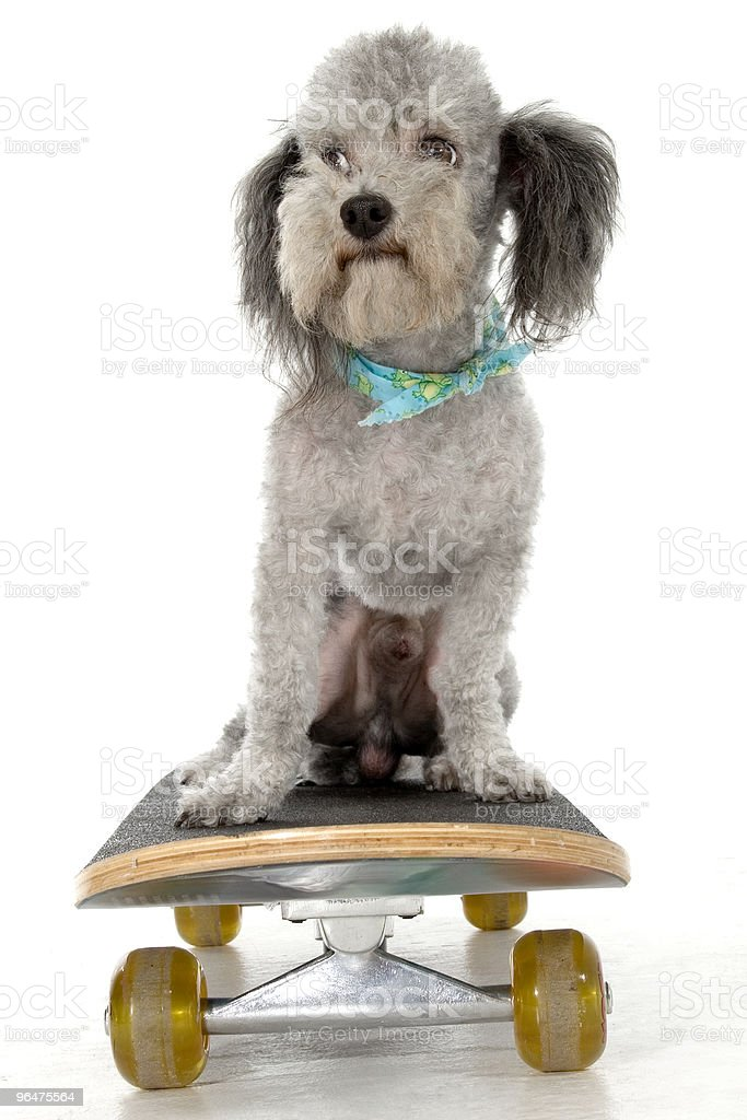 Skater Poodle royalty-free stock photo