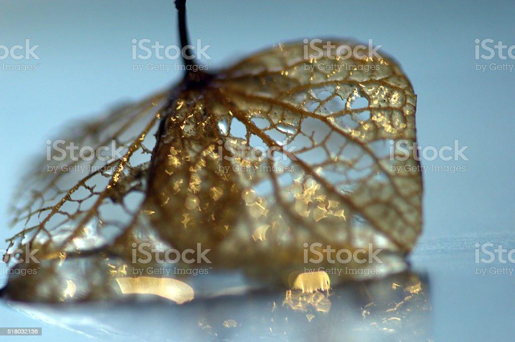 Skeletal Golden Hydrangea leaf with water drops stock photo