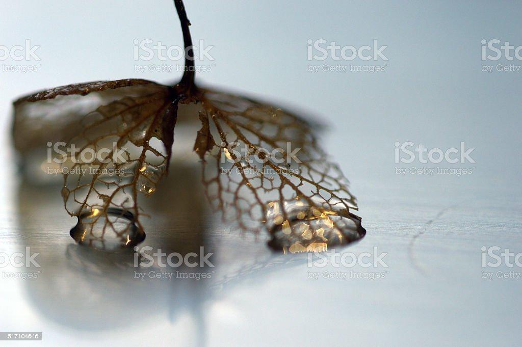 Skeletal Hydrangea leaf stock photo