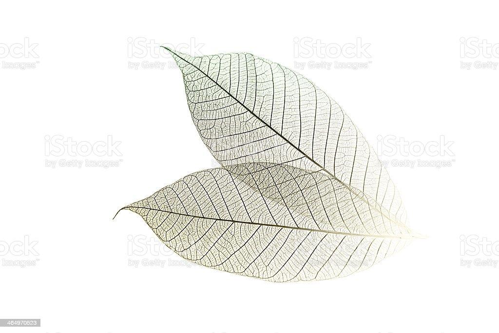 Skeletal Leaves on White stock photo