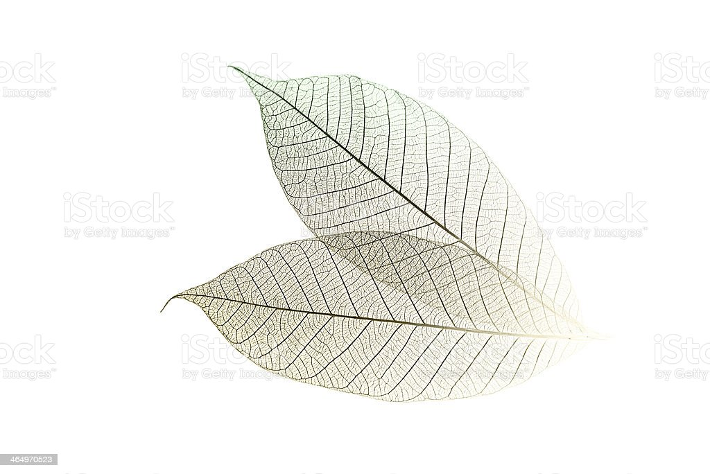 Skeletal Leaves on White stock photo