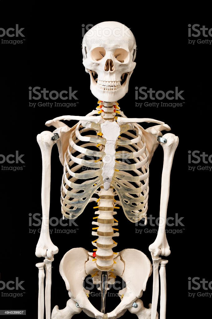 Skeletal preparations stock photo