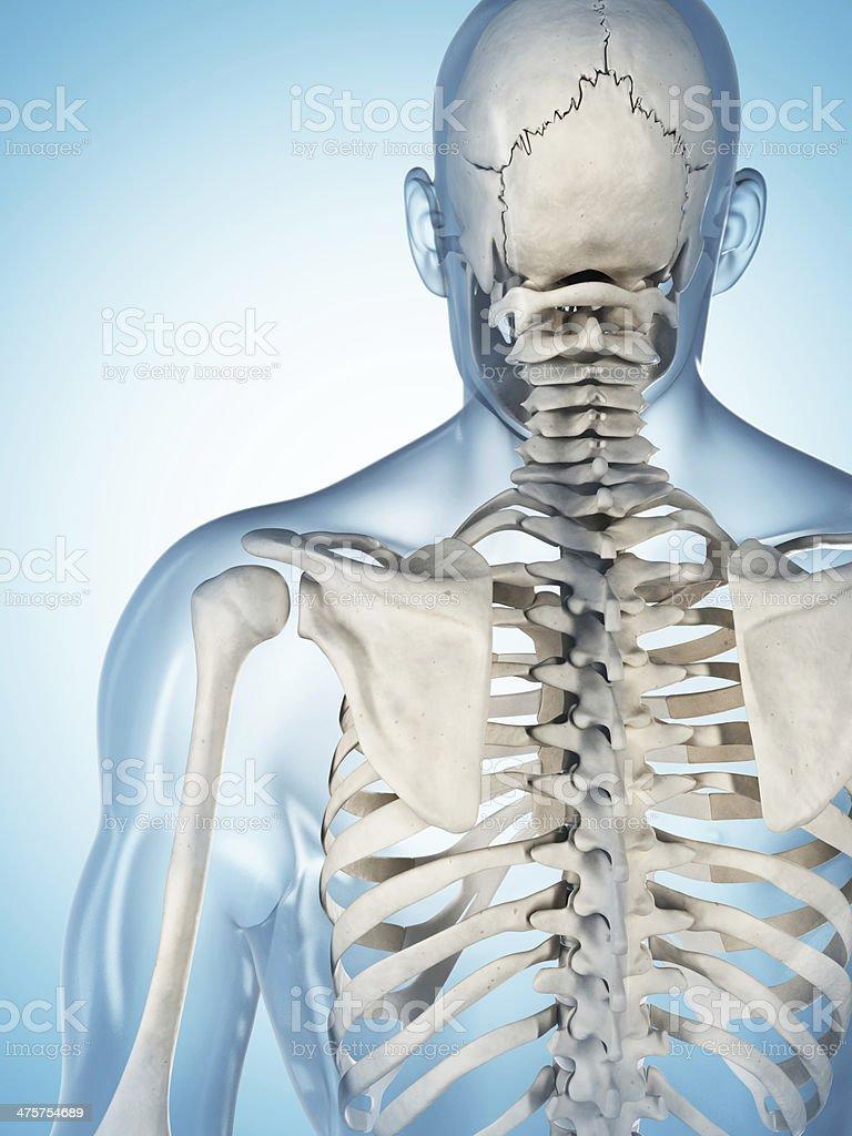 skeletal system - shoulder royalty-free stock photo