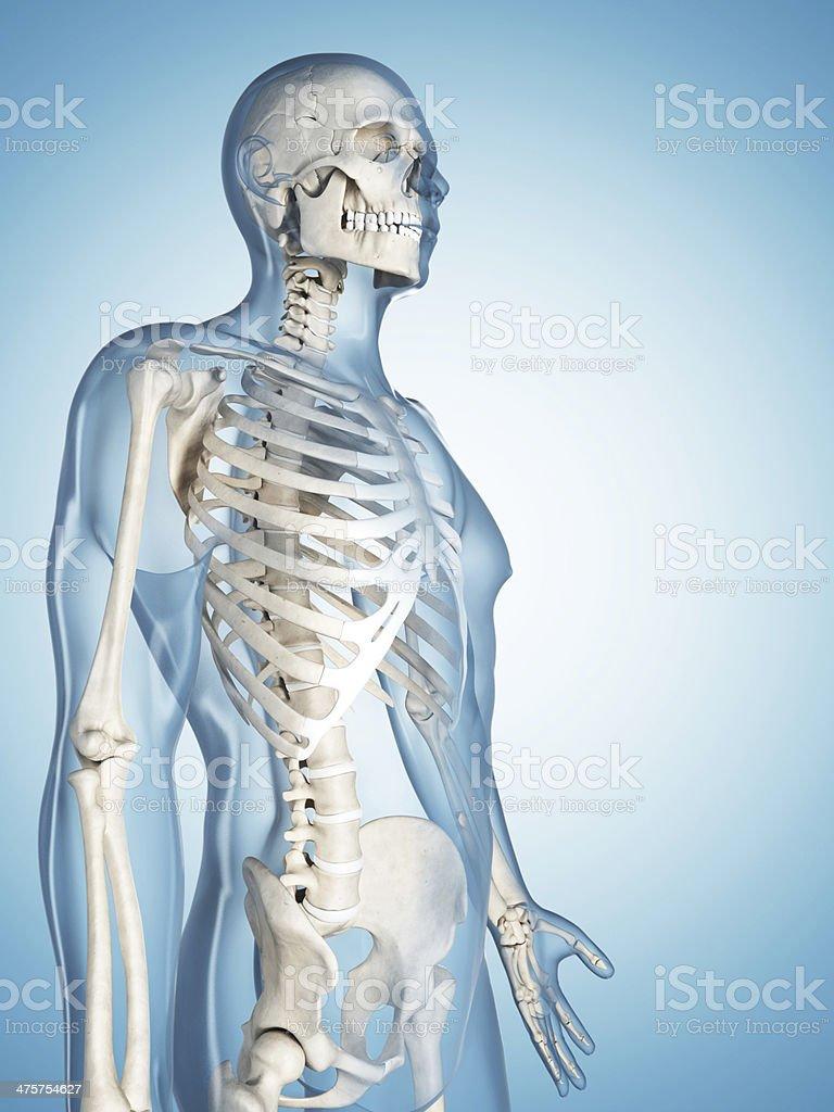 skeletal system - upper body royalty-free stock photo