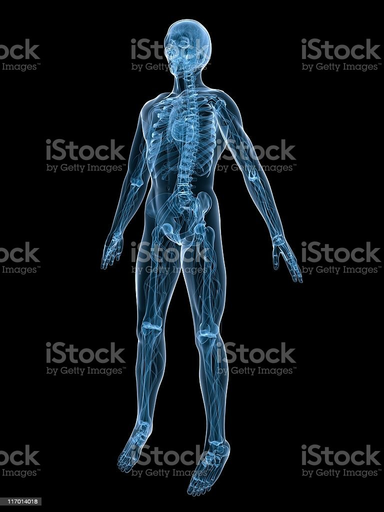 skeleton and vascular system royalty-free stock photo
