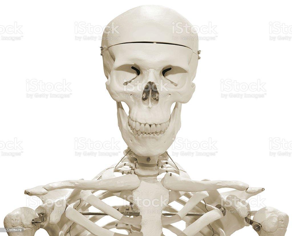 Skeleton Dummy royalty-free stock photo